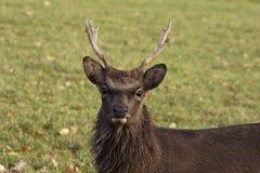 European Roe Deer, Capreolus capreolus Stock Images