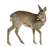 European Roe Deer, Capreolus capreolus Royalty Free Stock Photos