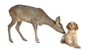 European Roe Deer, Capreolus capreolus Stock Photo