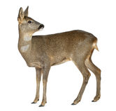 European Roe Deer, Capreolus capreolus Royalty Free Stock Images