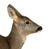 European Roe Deer, Capreolus capreolus Royalty Free Stock Photography