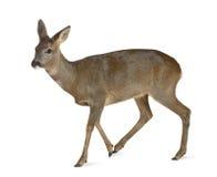 European Roe Deer, Capreolus capreolus, 3 years Royalty Free Stock Photography