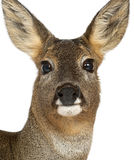 European Roe Deer, Capreolus capreolus, 3 years Stock Photos
