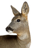 European Roe Deer, Capreolus capreolus, 3 years Royalty Free Stock Photo