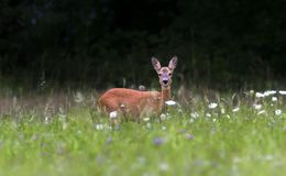 European roe deer, capreolus capreolus, Switzerland. European roe deer, capreolus capreolus, standing in a field with flowers, Switzerland royalty free stock images