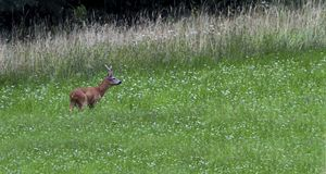 European roe deer, capreolus capreolus, Switzerland. European roe deer, capreolus capreolus, standing in a field looking aside, Switzerland royalty free stock photography