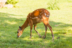 Free European Roe Deer Capreolus Eating Grass Stock Image - 98721991