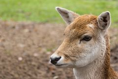 European roe deer. Close-up of the head of the European roe deer royalty free stock photos