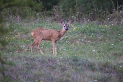 European roe deer Fawn Royalty Free Stock Photography