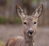 European roe deer Stock Images
