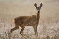 European roe deer Stock Photo