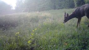 European roe deer while foraging in wild