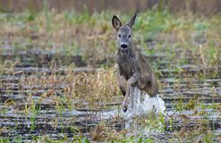 European roe deer jumps high in the air over the water surface royalty free stock photo
