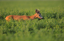 European Roe Deer. The picture was taken in Hungary this august Royalty Free Stock Photos