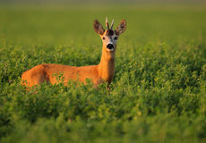 European Roe Deer. The picture was taken in Hungary this august Royalty Free Stock Images
