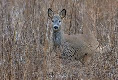 European roe deer hides in bushes in desguise and great camouflage royalty free stock photography