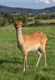European roe deer Royalty Free Stock Images