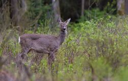 European roe deer stands in wood shrubs and bushes royalty free stock image