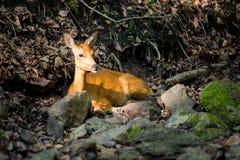 European roe deer Stock Images