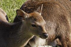 European Roe Deer, Western Roe Deer in Germany Royalty Free Stock Image