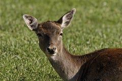 European Roe Deer, Western Roe Deer in Germany Stock Image