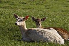 European Roe Deer, Western Roe Deer in Germany Royalty Free Stock Photos