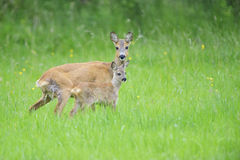 European roe deer Royalty Free Stock Images