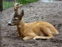 European ROE deer in the zoo of Kaliningrad Royalty Free Stock Photos