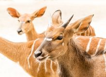 European roe deers in field Stock Images