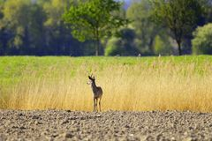 European Roebuck deer Royalty Free Stock Images