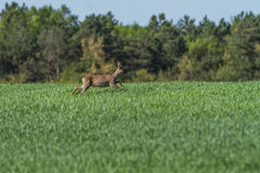 European roebuck in springtime on the cereal field with spring c Royalty Free Stock Photography