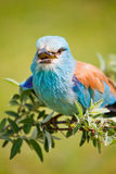 European Roller Royalty Free Stock Photo