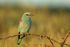 European Roller. Perched on a twig, close-up Stock Image