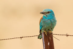 close-up European roller Stock Images
