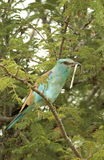 European Roller. A European Roller whaich has just caught a small snake royalty free stock image
