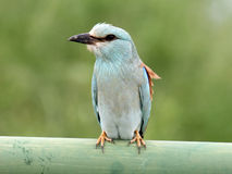 European roller. South africa - kruger national park Stock Photography
