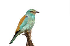 European roller against a white background Royalty Free Stock Photo