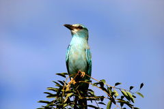 European Roller. A beautiful bird aside the road in the Kruger Park Royalty Free Stock Photo