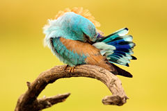 European Roller, beautiful colour light blue bird sitting on the branch with head below wing, hidden portrait in the plumage, blur Stock Photo