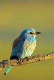 European roller bird on a branch Royalty Free Stock Photos