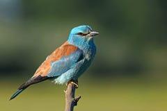 European roller bird on a branch Stock Images