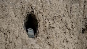 The European Roller bird chick prepares to fly out of the hole-nest stock video footage