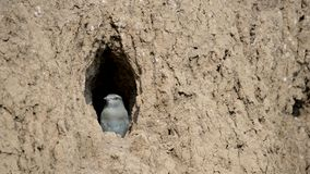 The European Roller bird chick prepares to fly out of the hole-nest stock video