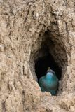 The European Roller bird chick prepares to fly out of the hole-nest royalty free stock photo