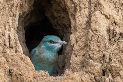 The European Roller bird chick prepares to fly out of the hole-nest royalty free stock photos