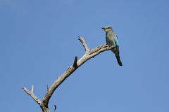 European Roller bird sitting on a branch Stock Image