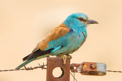 European roller close up. A european roller close up,during a safari in the middle of spain Stock Photography