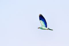 European roller (coracias garrulus) Royalty Free Stock Images