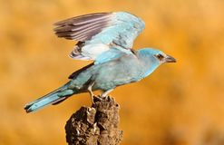 European roller Coracias garrulus Stock Photos