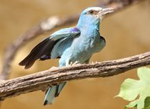 European roller Coracias garrulus Stock Photography